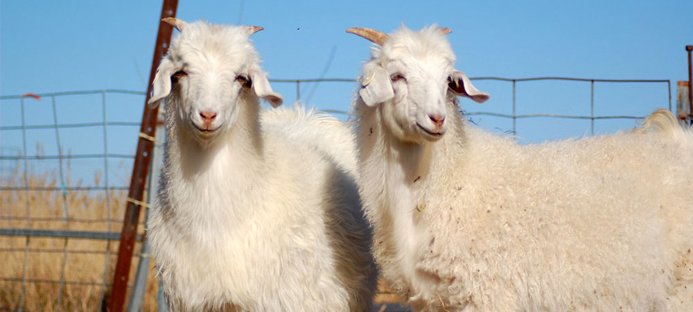 cashmere goats in fields