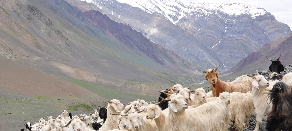 Cashmere goats on a hill